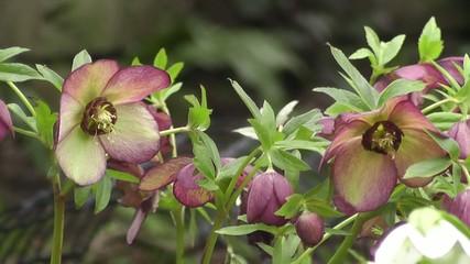 Woodland Spring Flowering Hellebores – Garden Lenten Roses