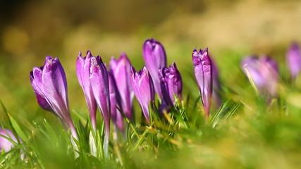Violet crocuses on the green grass