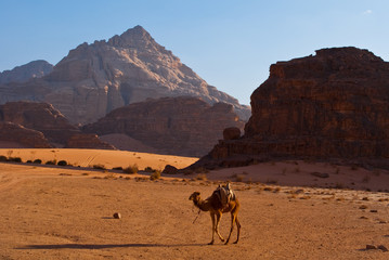 camels in the sands