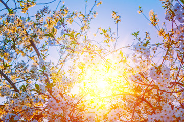 wiew on sunriese translucent through crone of blossoming cherry