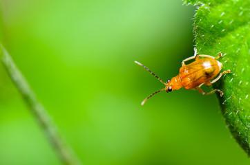 Cucurbit Leaf Beetle or Aulacophora indica