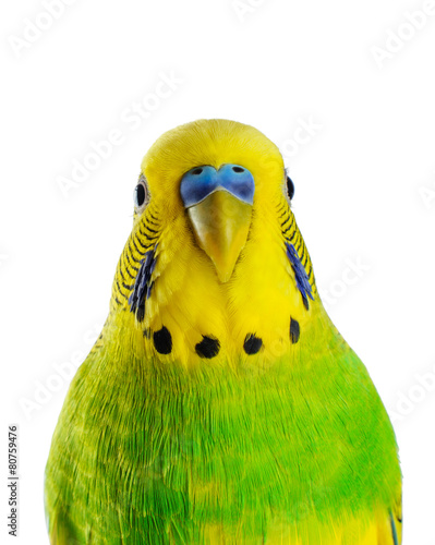 In de dag Papegaai Budgerigar. Parrot.