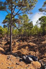 Forest near volcano Teide in Tenerife island - Canary