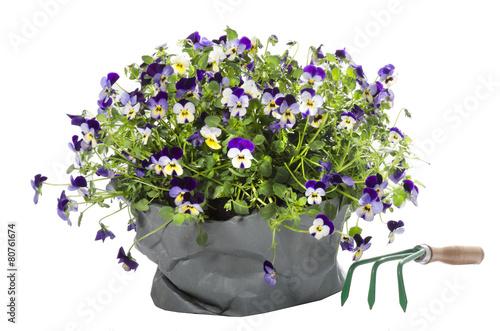 Fotobehang Pansies Hornveilchen Viola