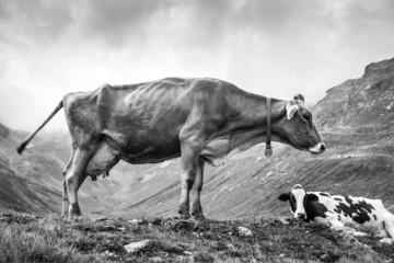 Mucca al pascolo alpino