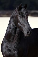 Black Friesian horse portrait