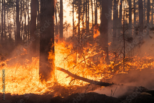 Big forest fire in pine stand