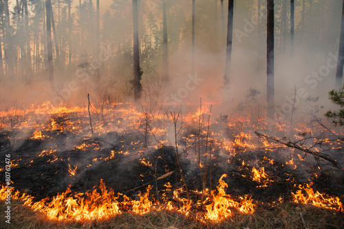Forest fire in pine stand - 80762476
