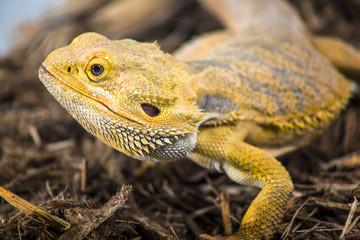 bearded dragon profile