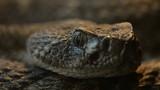 Rattlesnake  Crotalus mitchellii pyrrhus pupil dillating poster