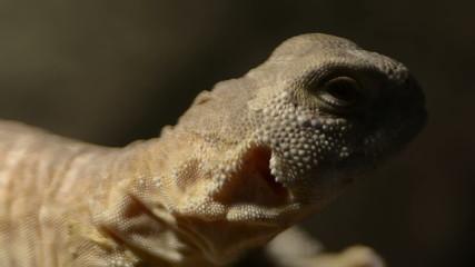 Uromastyx hardwickii spinny tale indian lizard