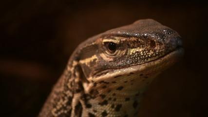 juvenile Komodo dragon Varanus komodoensis