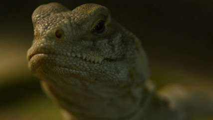 Uromastyx hardwickii spinny tale indian lizard moves out of shot