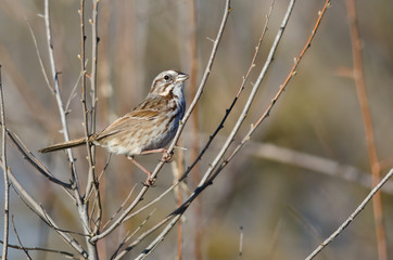 Song Sparrow Perched in a Tree