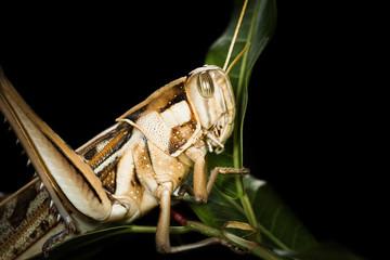 Big Grasshopper on black background