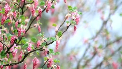 Flowering Currant, spring,  Ribes Sanguineum
