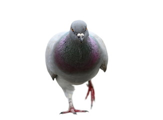isolated pigeon coming towards camera