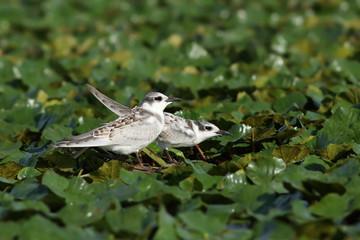 juveniles whiskered tern