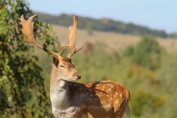 portrait of a male fallow deer