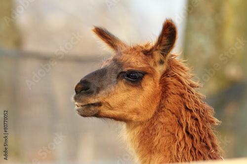 Foto op Plexiglas Lama llama head close-up