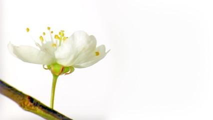 Blooming cherry flower in timelapse