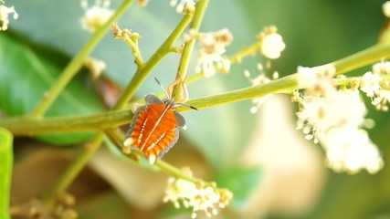 Young Stink Bug is staying on the longan shoot
