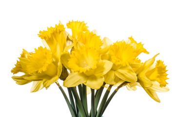 Bouquet of yellow daffodil flowers