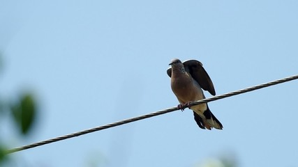 spotted dove is relaxing on the cable wire