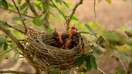 The chick in the nest