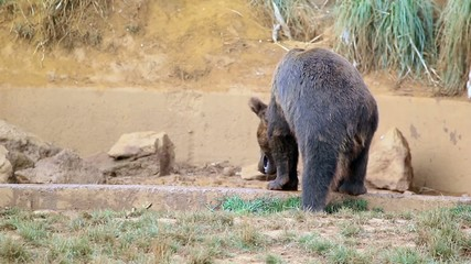 The European brown bear (Ursus arctos arctos)