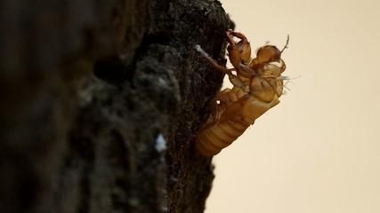 cicadas exuvia was left on the tree bark