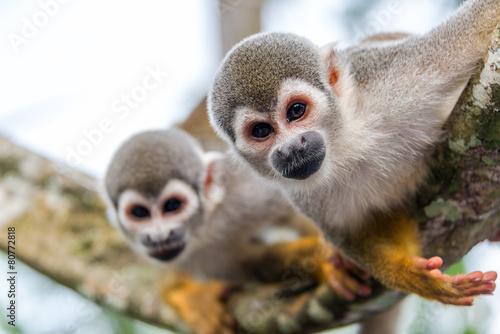 Foto op Canvas Aap Two Squirrel Monkeys