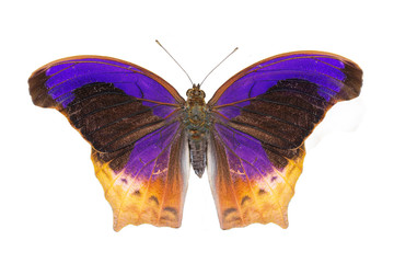 Isolated Great Assyrian (Terinos atlita) butterfly
