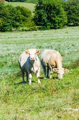 Bœuf charolais, vache