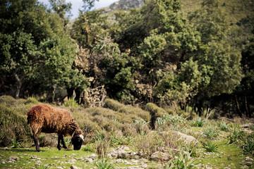 sheep grazing in the beautiful landscape in majorca