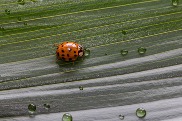 Close-up little ladybug on green plant leaf with water drops