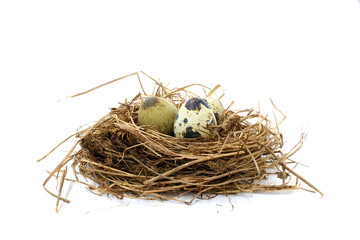 Quail nest with spotted eggs