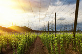 Hops Field - Cloudy Sky. Rays of light