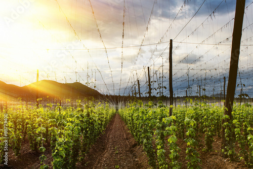 canvas print picture Hops Field - Cloudy Sky. Rays of light