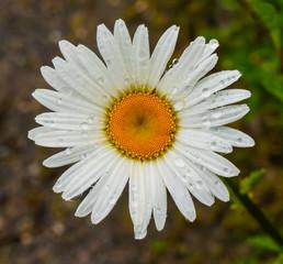 Blüte der Margerite mit Wassertropfen