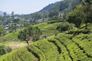 На чайных плантациях в районе Нувара Элиа. Шри-Ланка