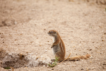 African ground squirrel at her burrow, Kalahari, Botswana.