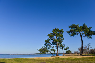 Landes pine on the edge of a lake