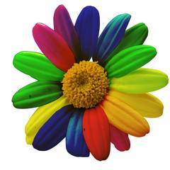 margherita colorata