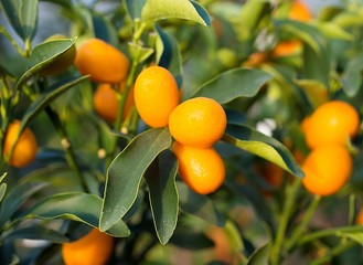 little kumquat fruit on the tree in the Orchard