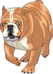 Vector. English bulldog.