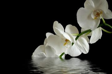 orchid flower reflexion