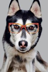 Husky mit Brille