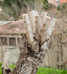 Close up of Pruned Tree