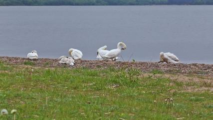 goose bird riverbank river water rural stack waterfowl